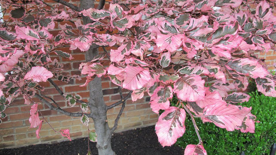 Dwarf Tri Color Beech Tree Benchs Greenhouse