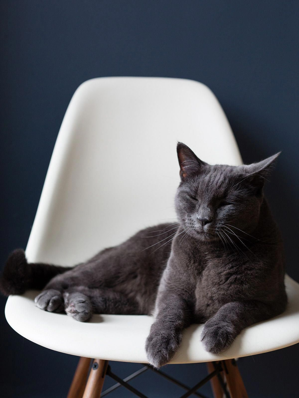 Afterthecups It S So Hard Being Me Greycat Blue Cats Russian Blue Cat Russian Blue