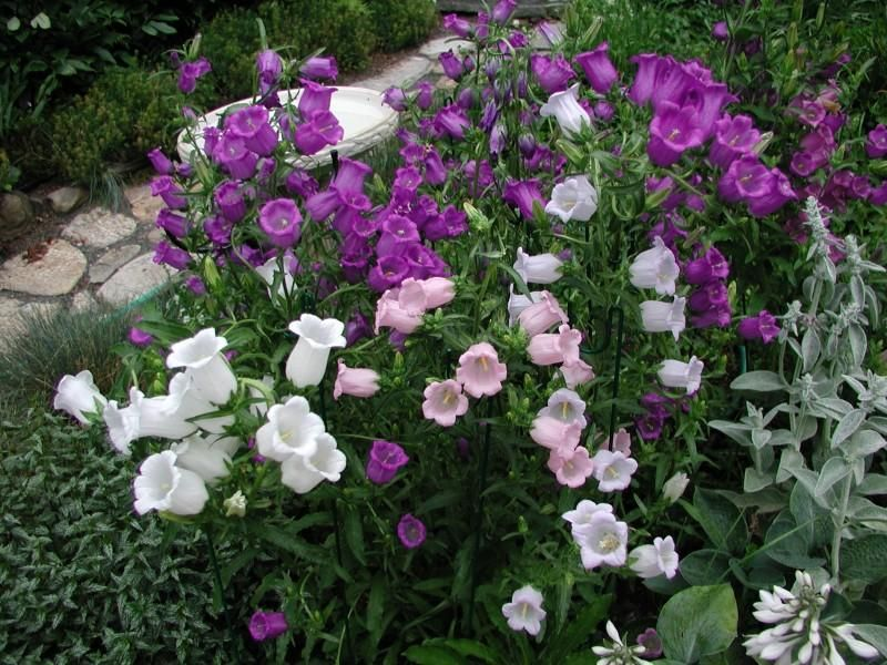 Canterbury Bells Remind me of my summer working in