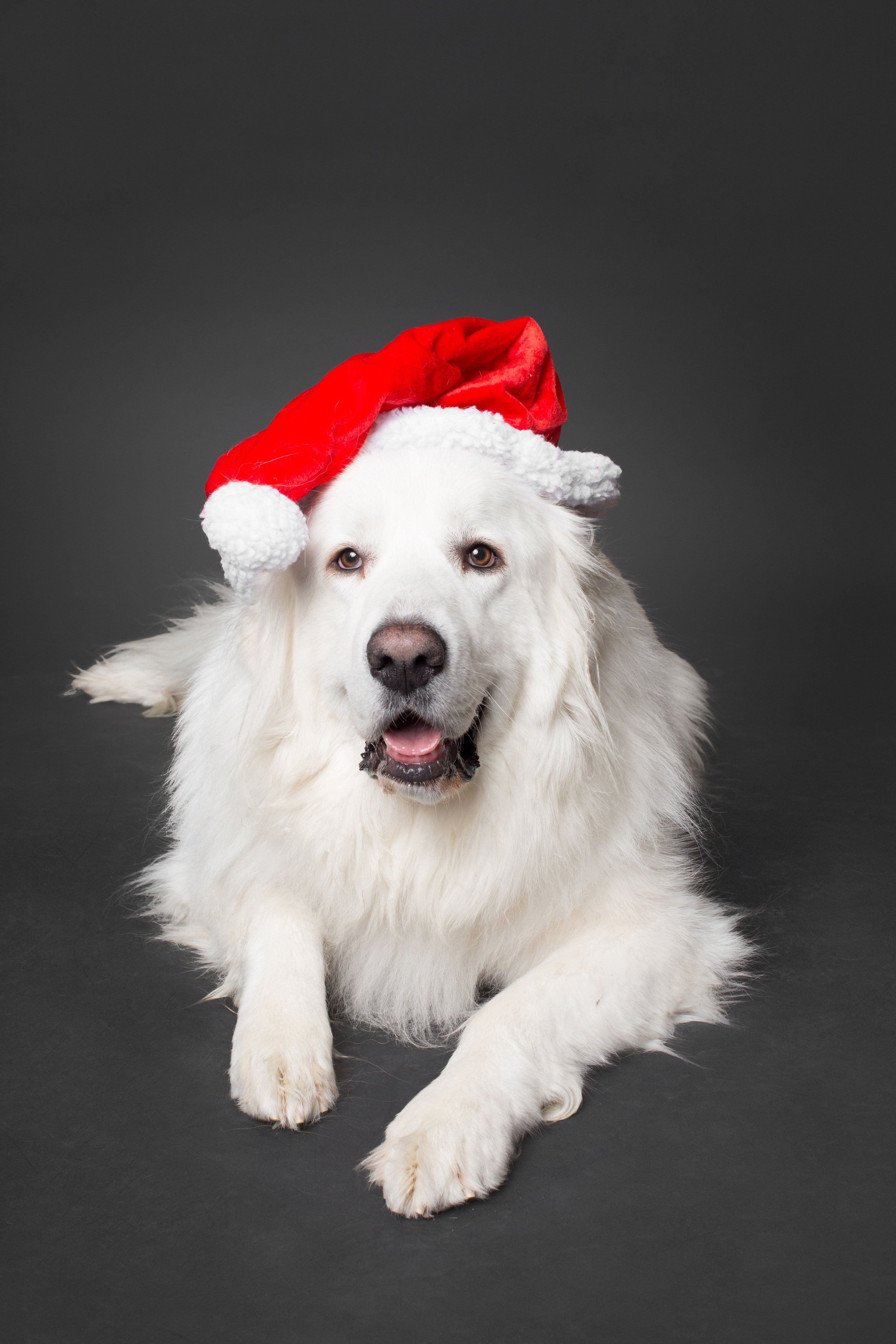 Atka the Great Pyrenees modeling for his Christmas photo