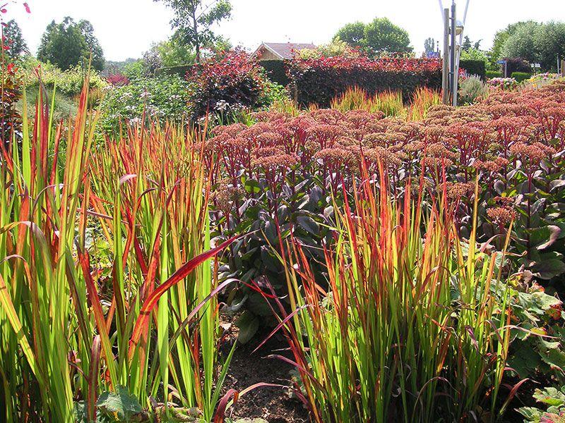 Japanisches blutgras imperata red baron gras imperata cylindrica red baron pflege blutgras - Imperata cylindrica red baron ...