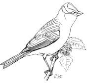 Perched White Crowned Sparrow Coloring Page Coloring Pages Free