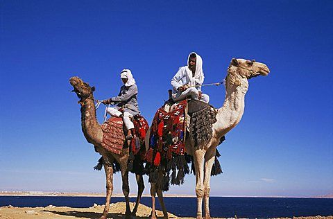 Bedouin and camels, Sinai, Egypt, North Africa, Africa