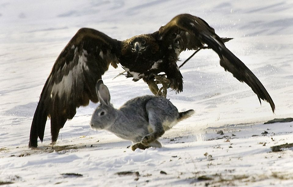 Image result for EAGLE SWOOPING DOWN A RABBIT, PIX?