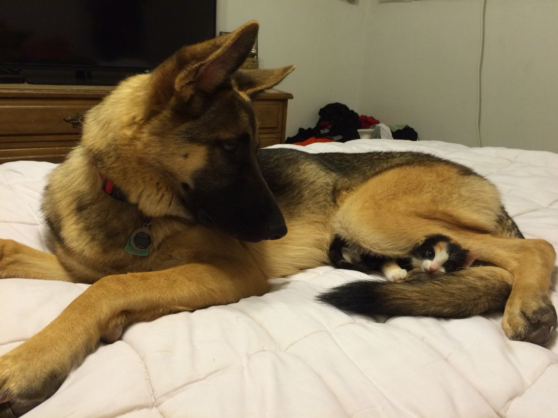Kitten And Gsd Friends Our Dog Fox And Our New Kitty Kalifa Are Best Of Friends Gsd German Shepherd Dogs Shepherd Dog