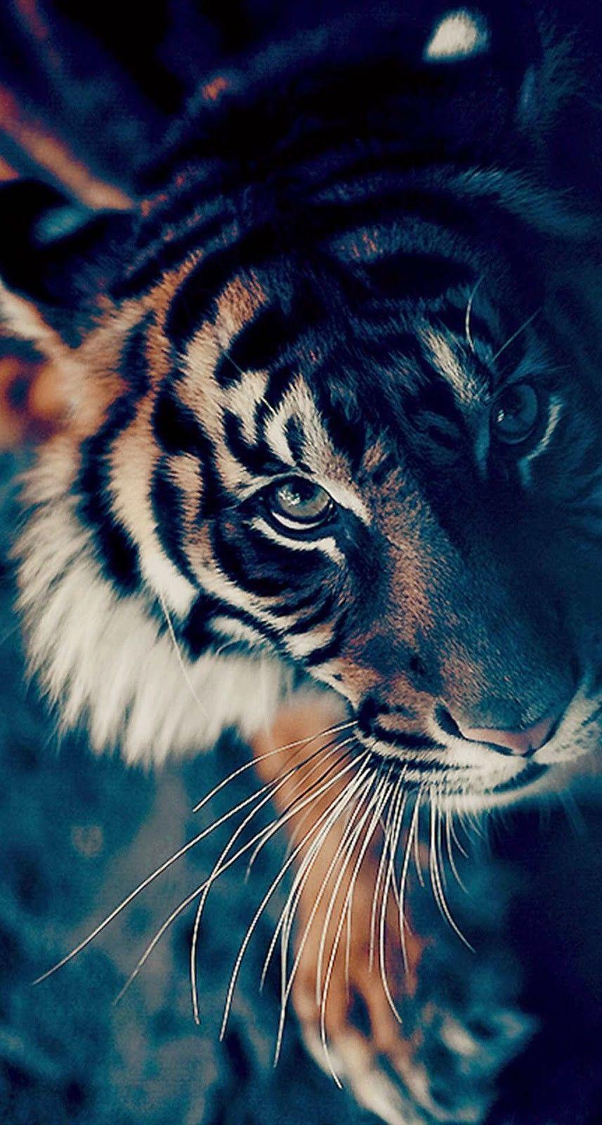 Tiger Mobile Wallpaper Phone Background Tiger Wallpaper Animal Wallpaper Animals Beautiful