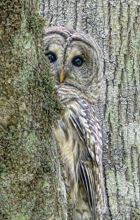 Shy Owl Trying to Blend In and doing a pretty good job of it too!
