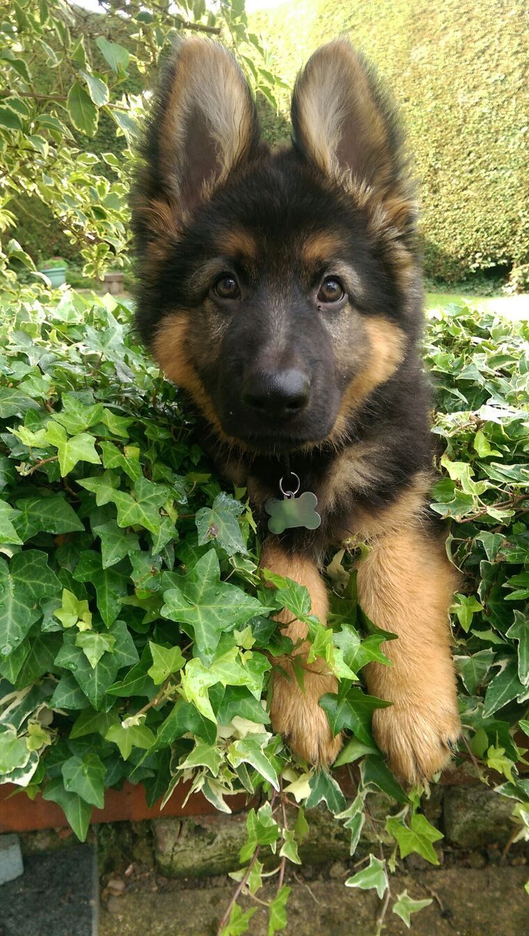 9 Week Old German Shepherd Puppy Playing
