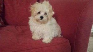 Maltipoo Puppies For Sale Bay Area Cute Baby Animals Maltipoo