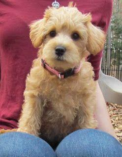 Growing Puppies Virginia Schnoodle Breeder