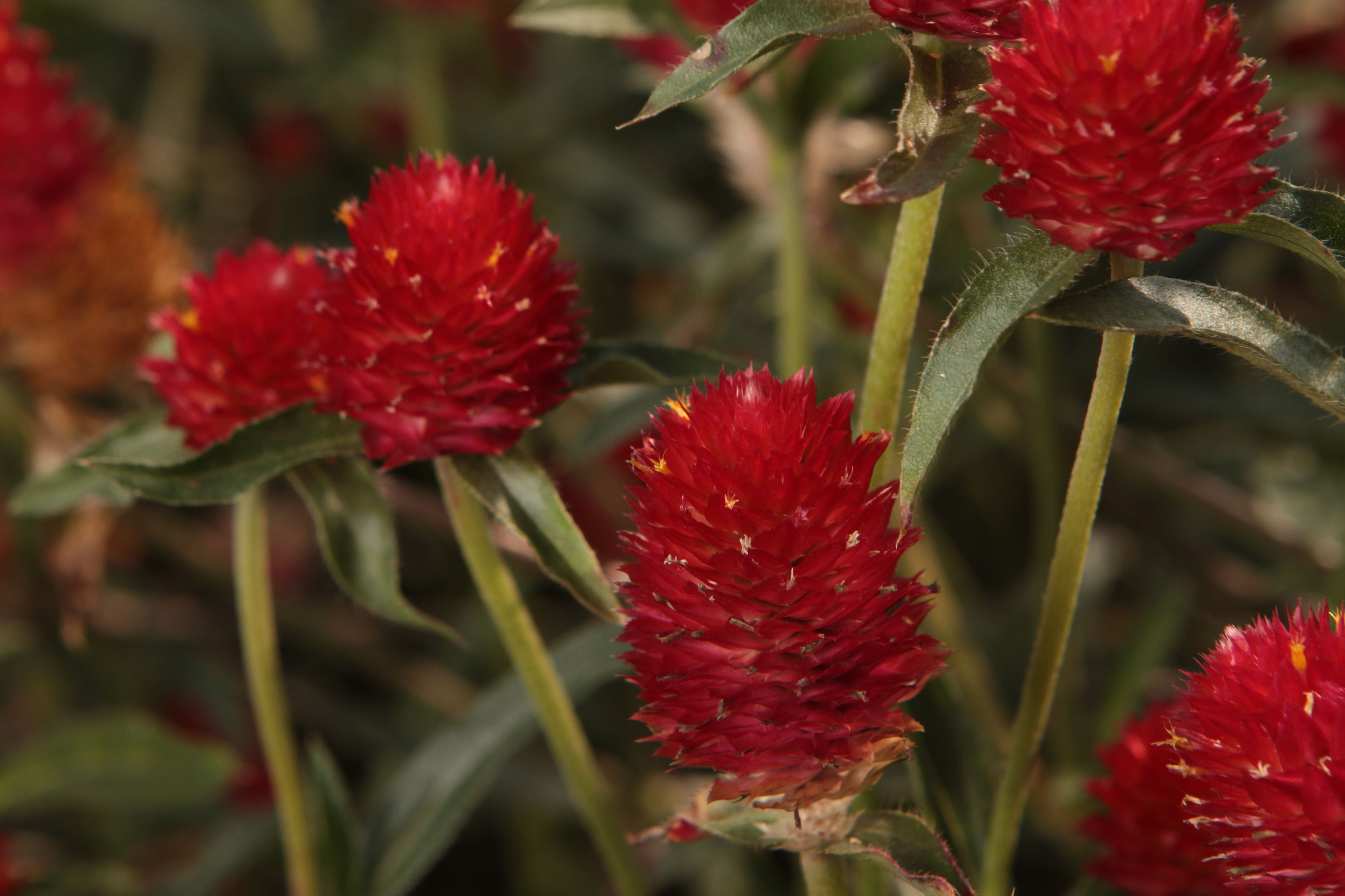 Forest™ Red Globe Amaranthus Gomphrena by Proven Winner Also, Strawberry Fields by Burpee but impossible to find locally.