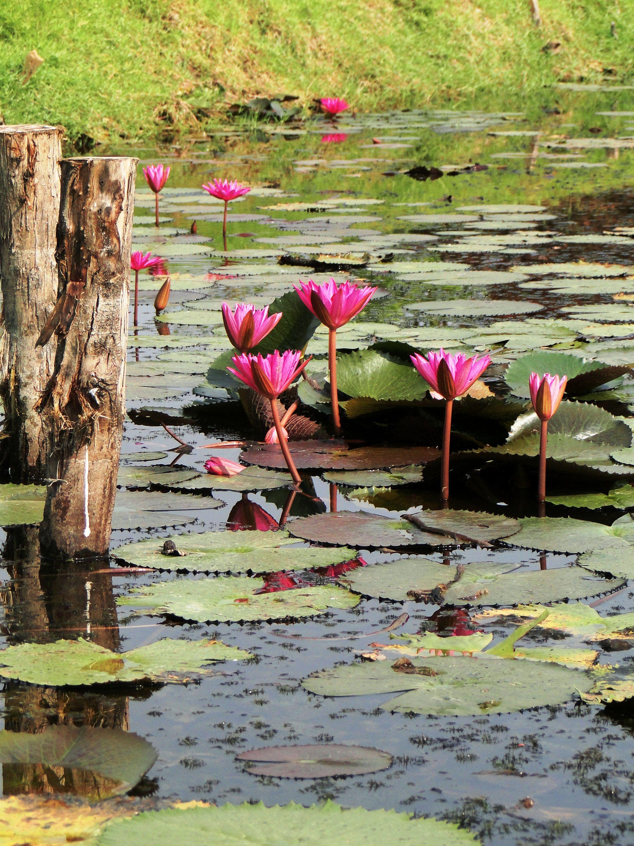 Pin By Sara Vernis On Thailand Pinterest Lotus