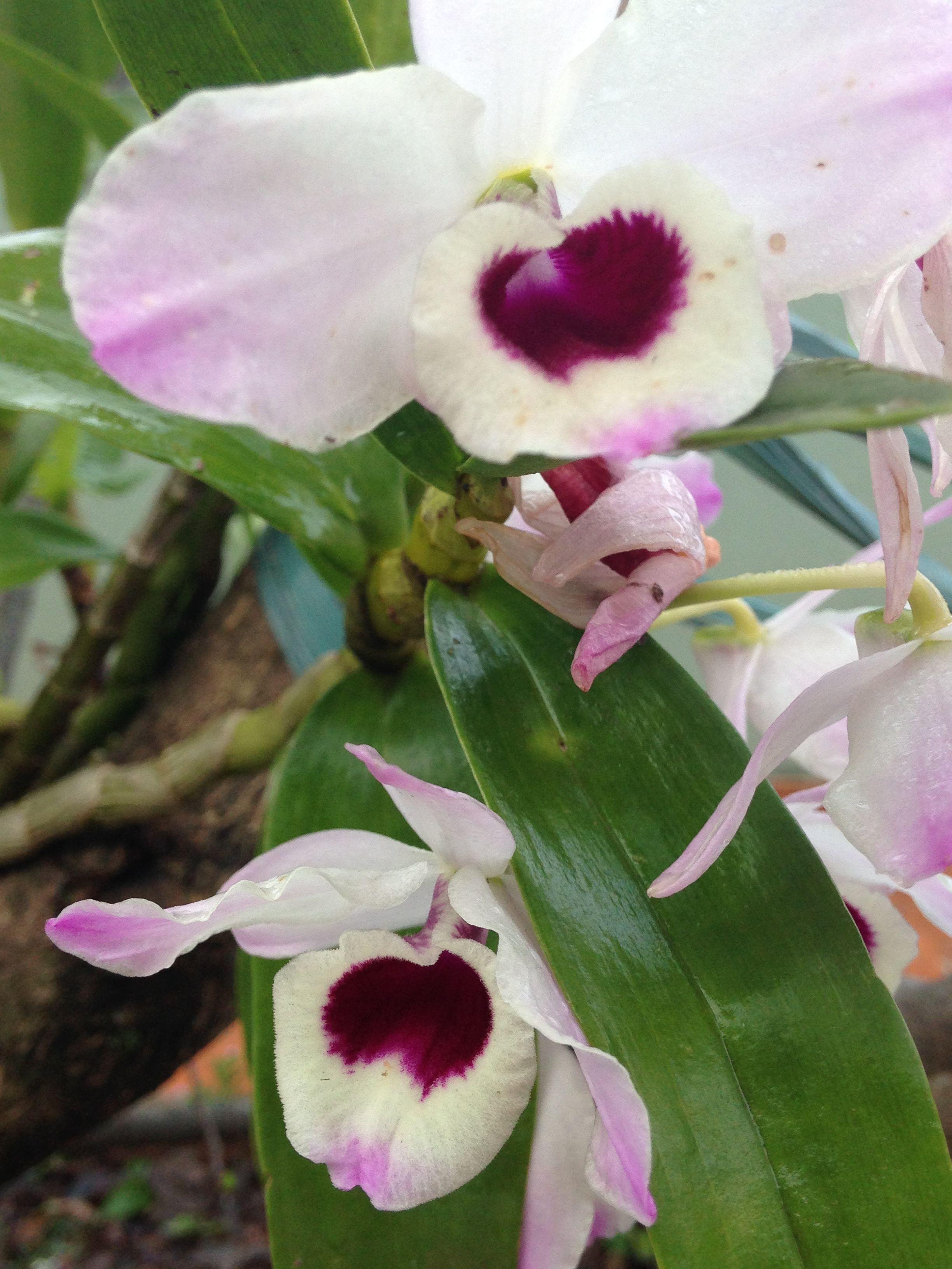 Dendrobium nobile - Olho de boneca!
