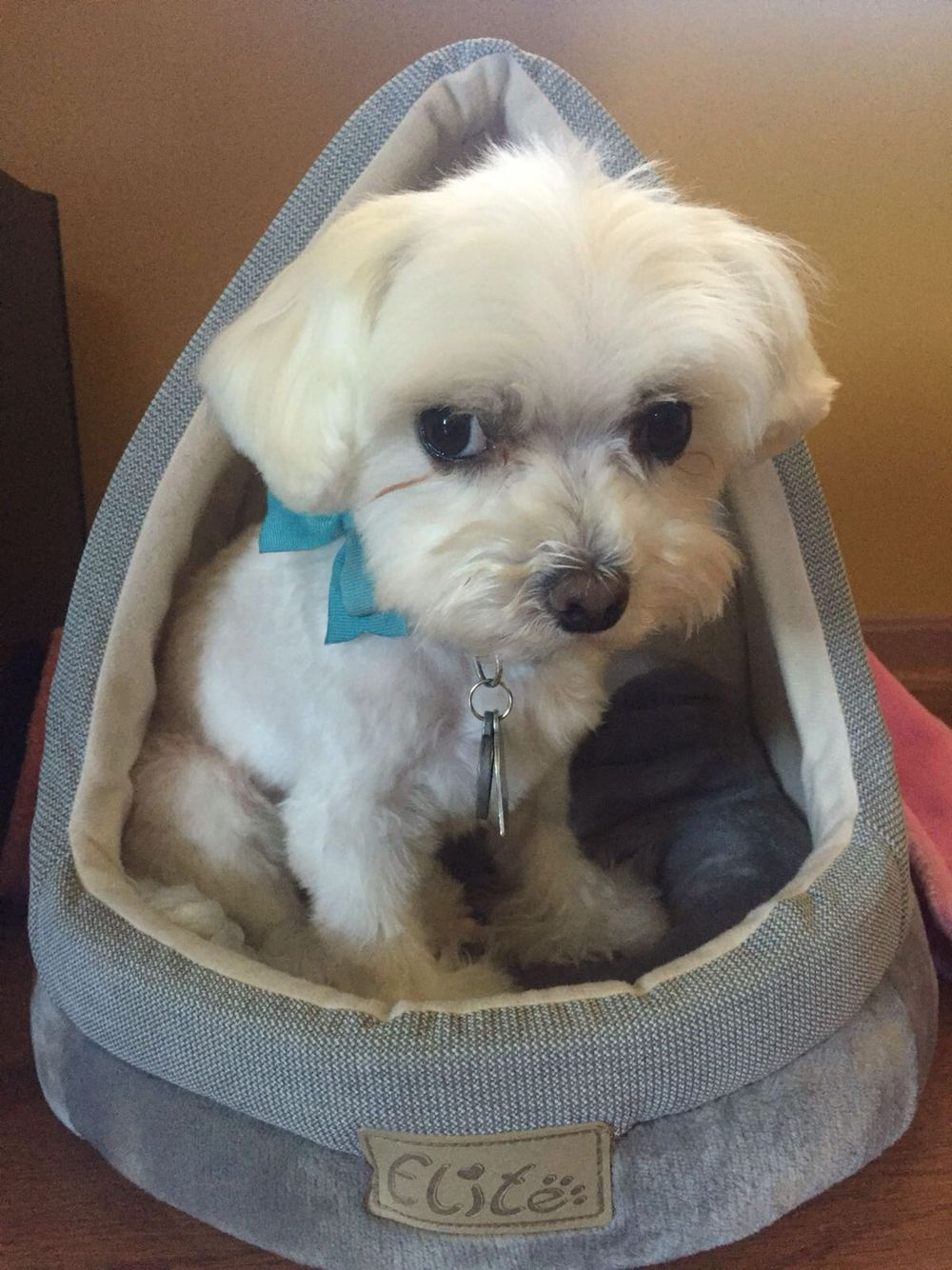 Effie The Maltese With Images Teacup Puppies Maltese