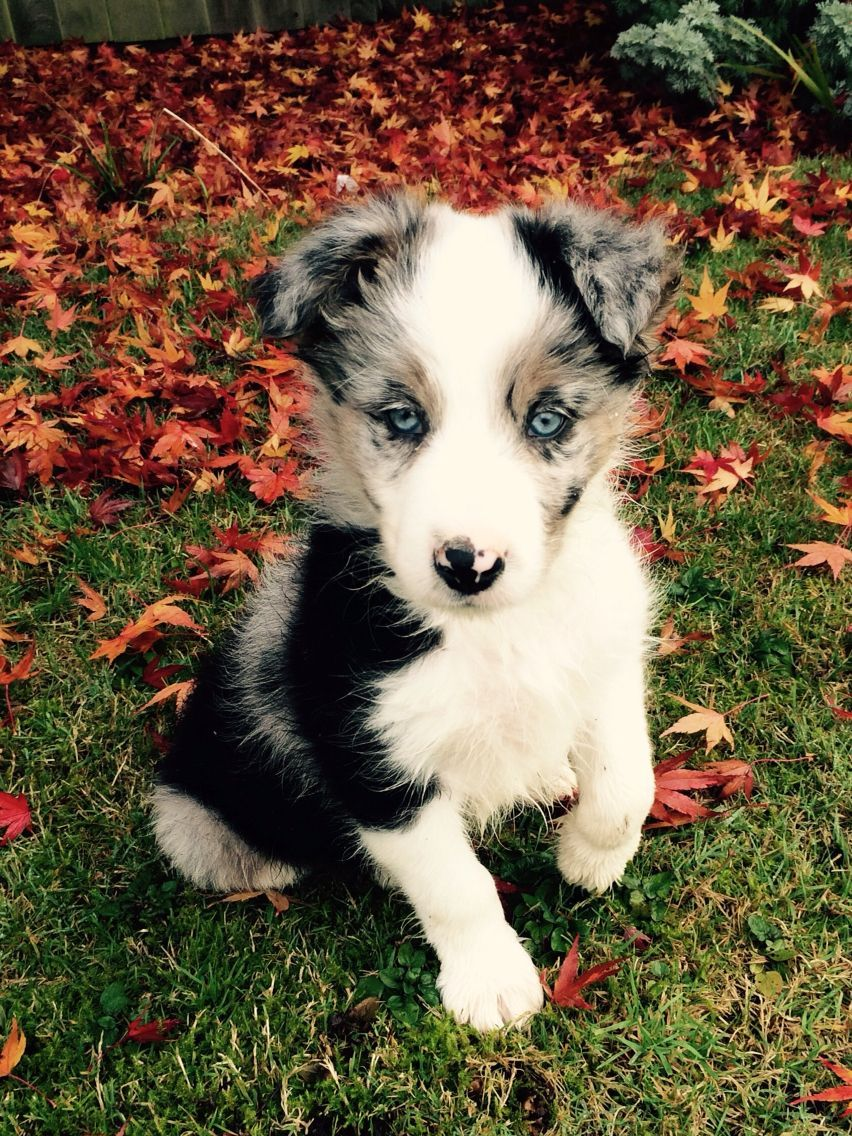 Blue Merle Border Collie Puppy Called Murphy Bordercollie Collie Puppies Border Collie Puppies Cute Animals
