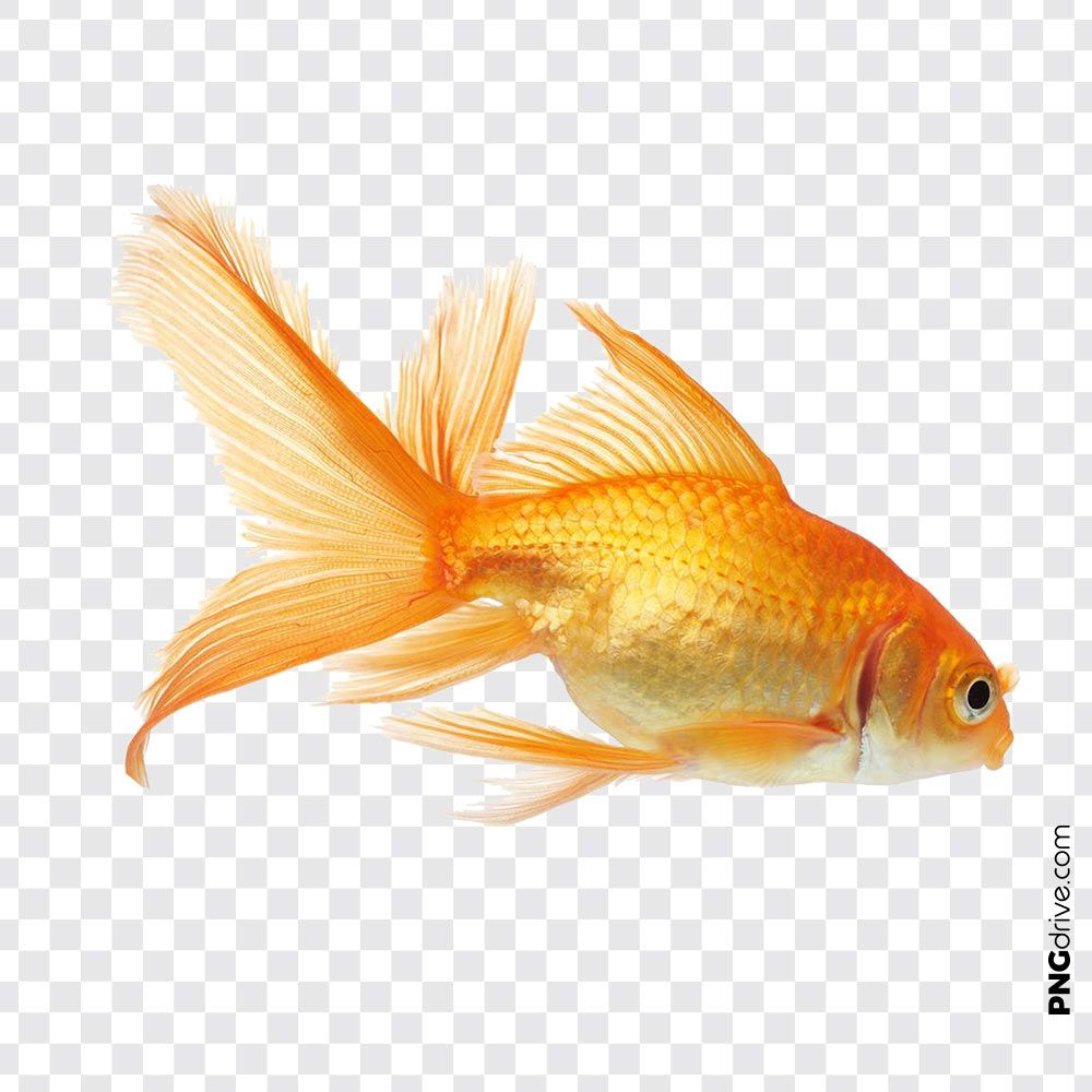 Pin By Png Drive On Gold Fish Png Golden Fish Goldfish Fish