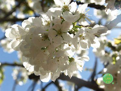 Rincon de Dalanyo: Cerezo en flor