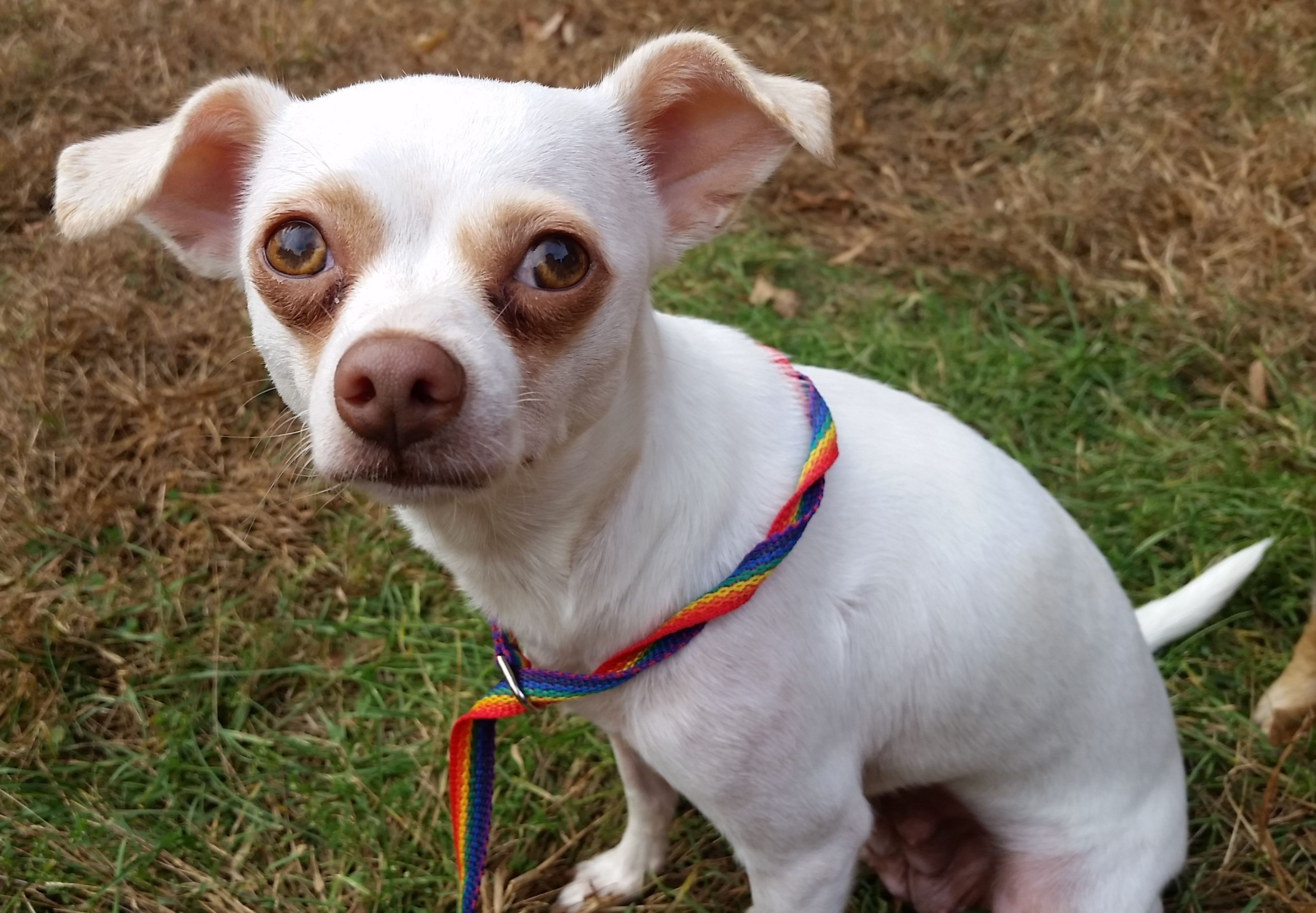 Chihuahua dog for Adoption in Guilford, CT. ADN-418884 on PuppyFinder.com Gender: Female. Age: Adult