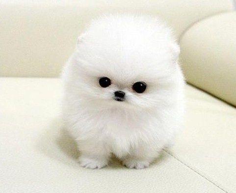 Cute Pomeranian Puppy Cute Baby Animals Cute Animal Photos Cute Animals