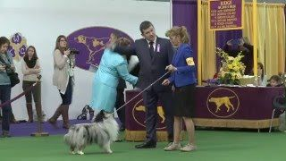 Would you jump at the chance to extend the life of your beloved dog? To discover how, go to http://lovedogs.from.media/go  Westminster Kennel Club Dog Show 2016 - Shetland Sheepdog