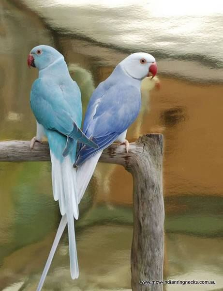 Violet and blue cleartail indian ringnecks | Colored Pencils
