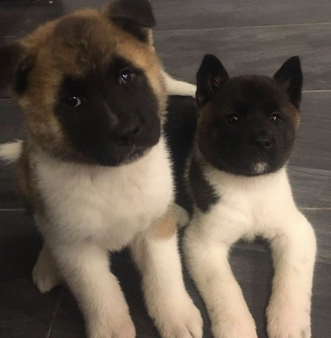 Stuffed Toy Or Real Puppies Akita Dog Japanese Dogs American
