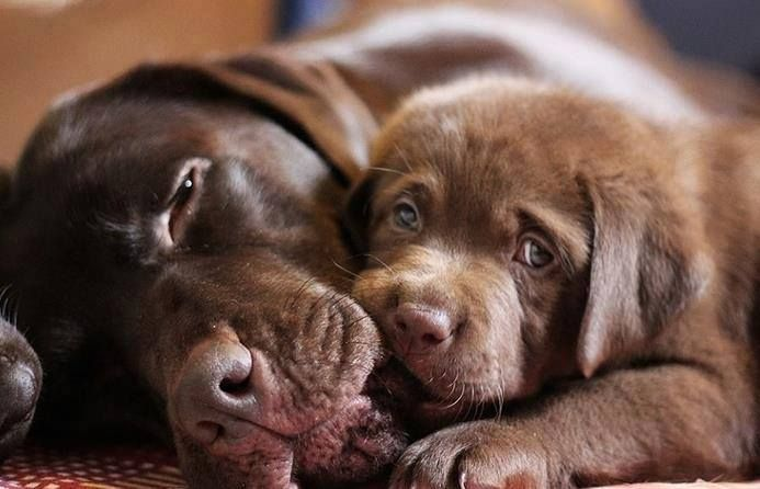Image By Dog Lovers On Labrador Labrador Retriever Dog Lab Puppies