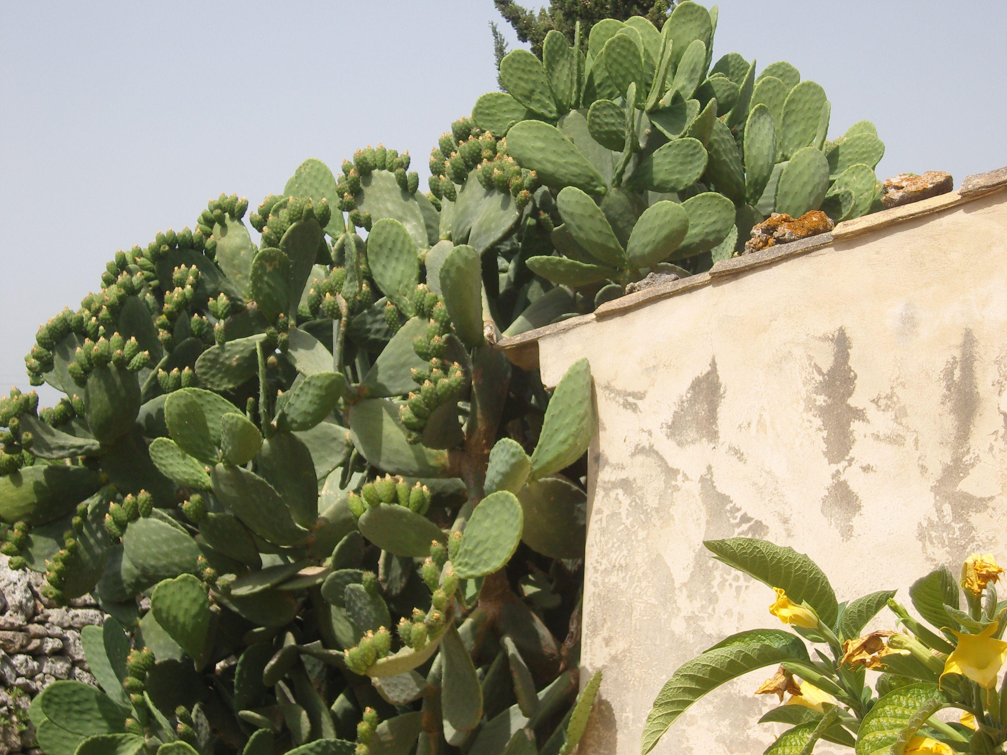 Cactus Sicilie Italy