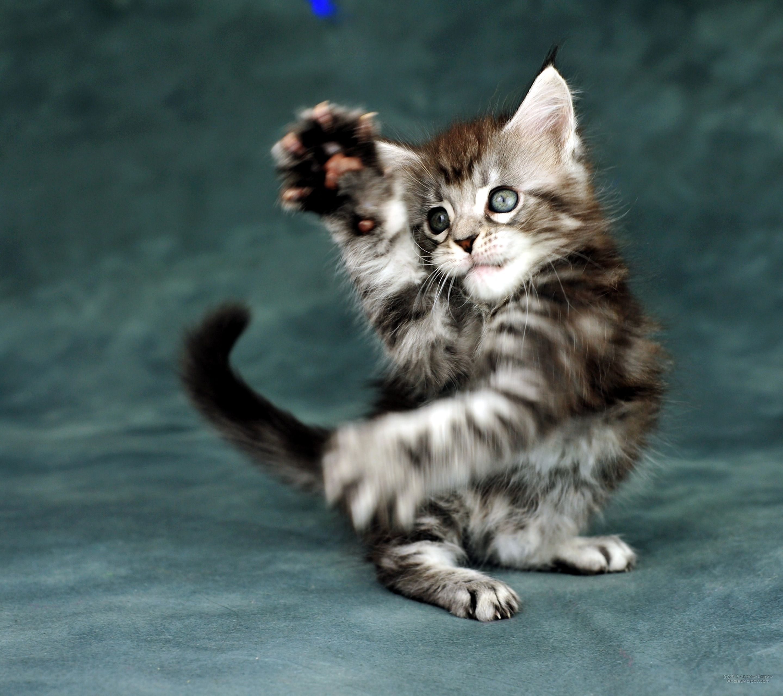 Maine Coon Silver kitten Incredible friendliest cat breeds for