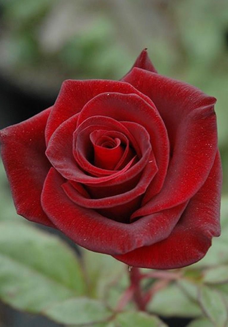 Pretty Red Rose Rose Seeds Different Kinds Of Flowers Red Roses