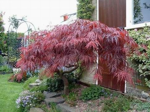 Acer Palmatum Dissectum Atropurpureum Kept Small By Pruning