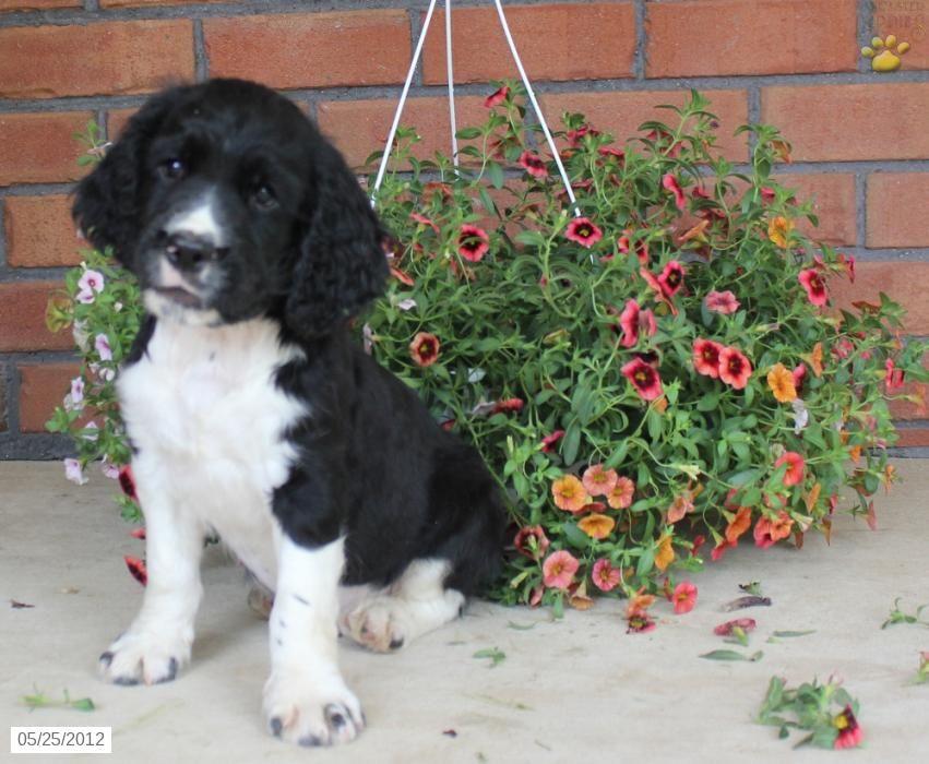 English springer spaniel puppy for sale spaniel puppies