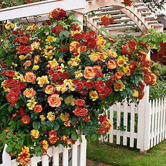 Climbing Pinata Rose 1 Bareroot Plant Perfect For A