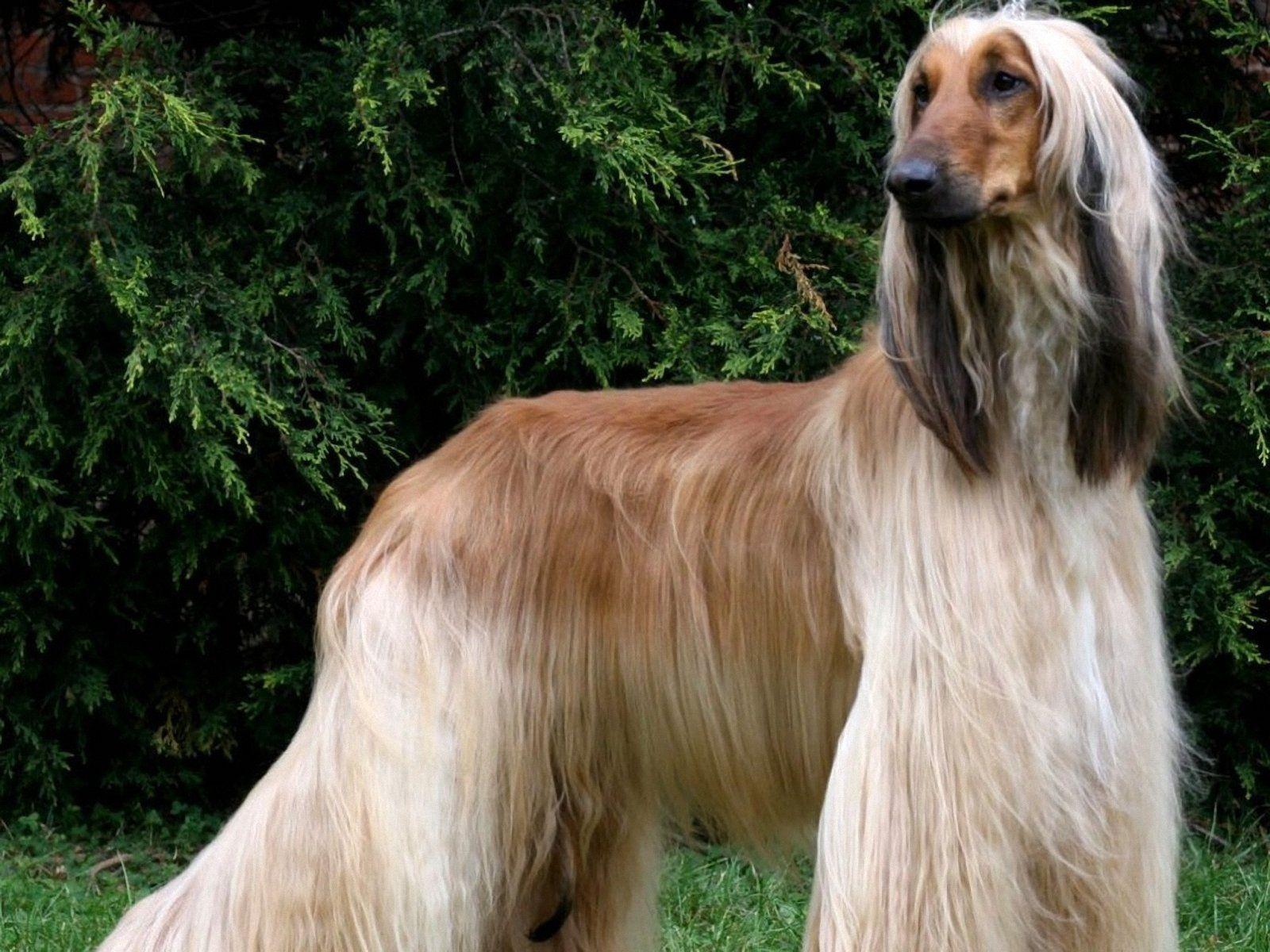 Top 10 Dumbest Dog Breeds Afghan Hound Hound Breeds Dog Breeds