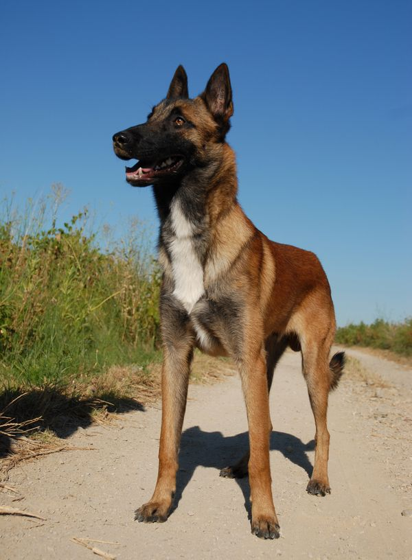 Belgian Malinois. They tend to be oneperson dogs, and are