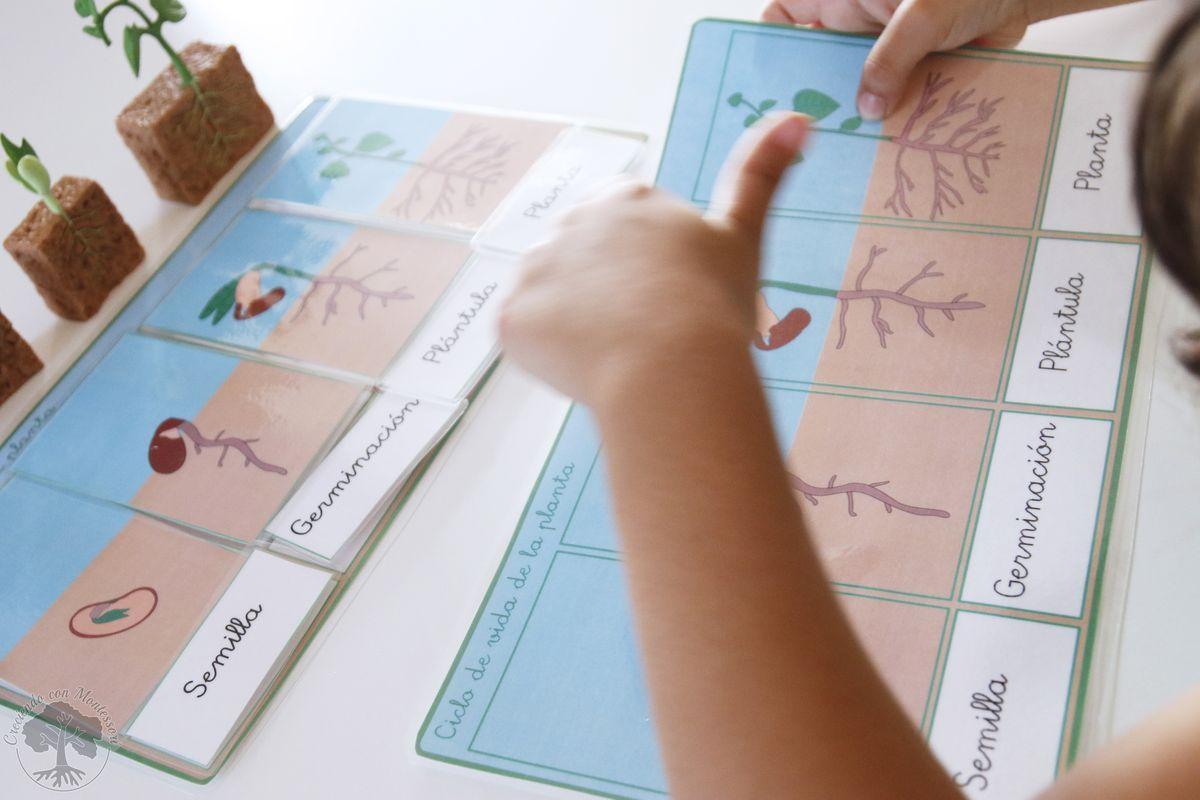 Ciclo De Vida De La Planta De Inspiracion Montessori