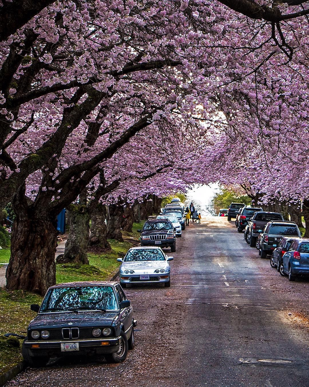 Canopink Blossoms Form A Pink Canopy Over A Street In The Hastings Sunrise Neighbourhood The Smell Of Flowers Fill The Vancouver Blossom Trees Cherry Tree