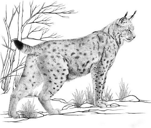 Vysledek Obrazku Pro Srnec Kresba Lynx Siluets Graphic Tatoo
