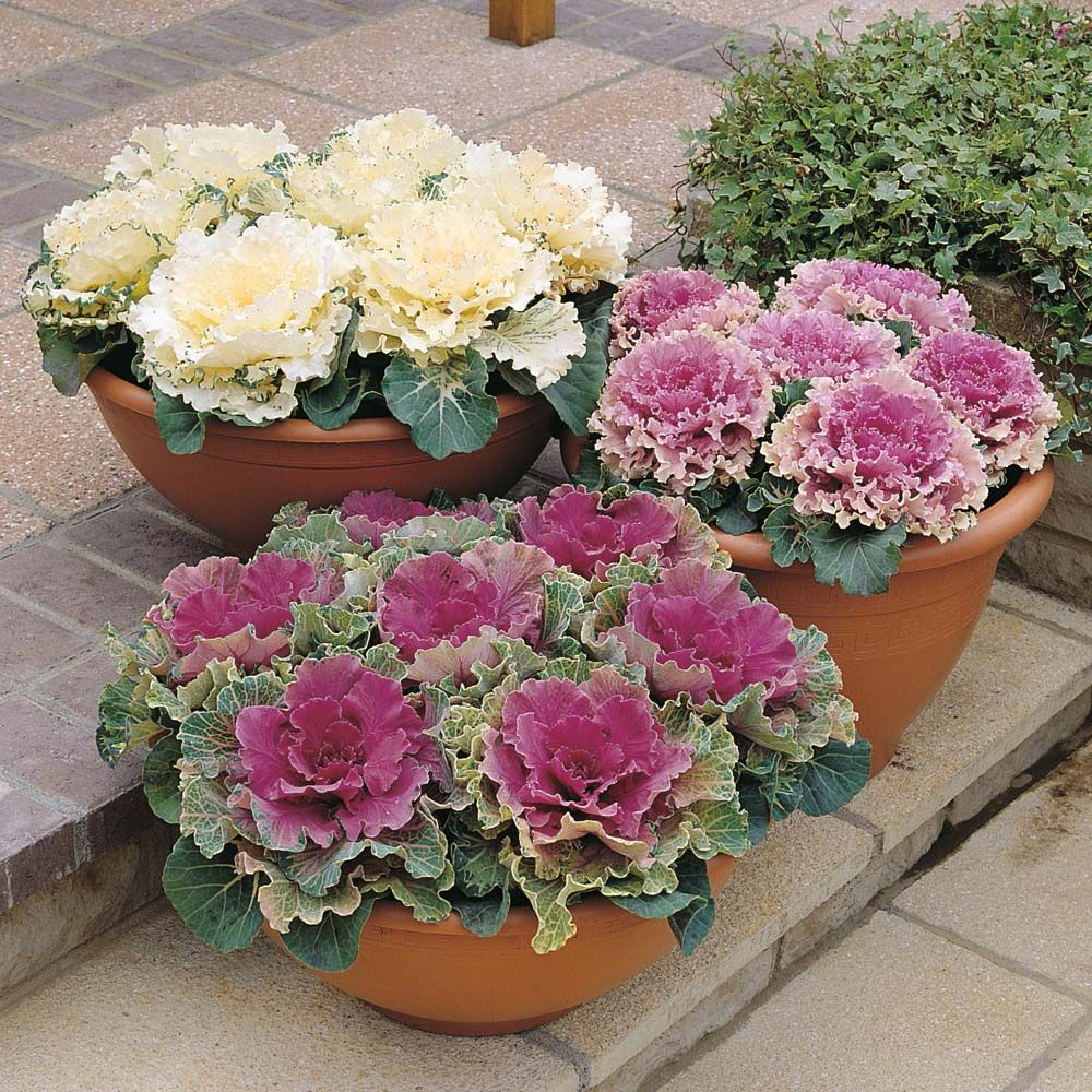 flowering u0027northern lights mixed u0027 ornamental cabbage balcony