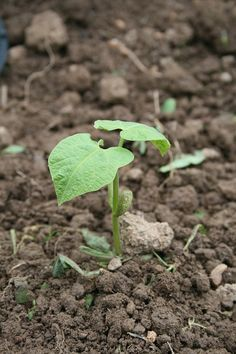 semer des haricots verts quand comment faire ses semis de haricot plantes pinterest. Black Bedroom Furniture Sets. Home Design Ideas