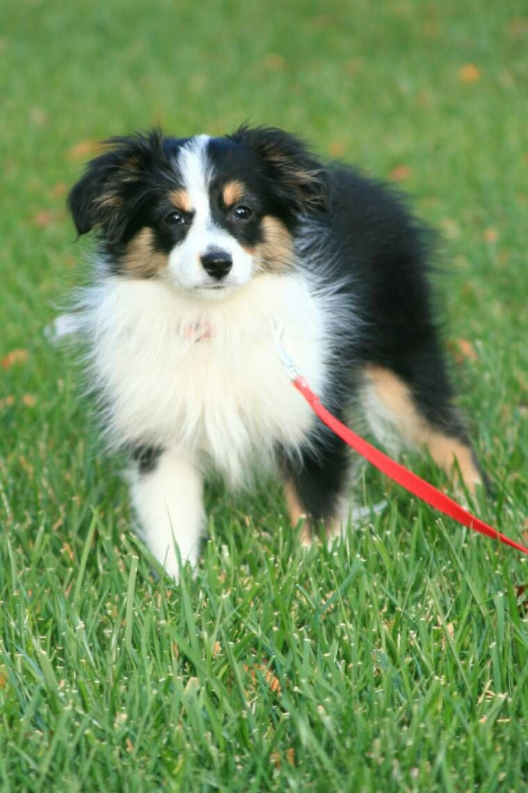 Toy Aussie Pups dog dogs, teacup, puppy for sale