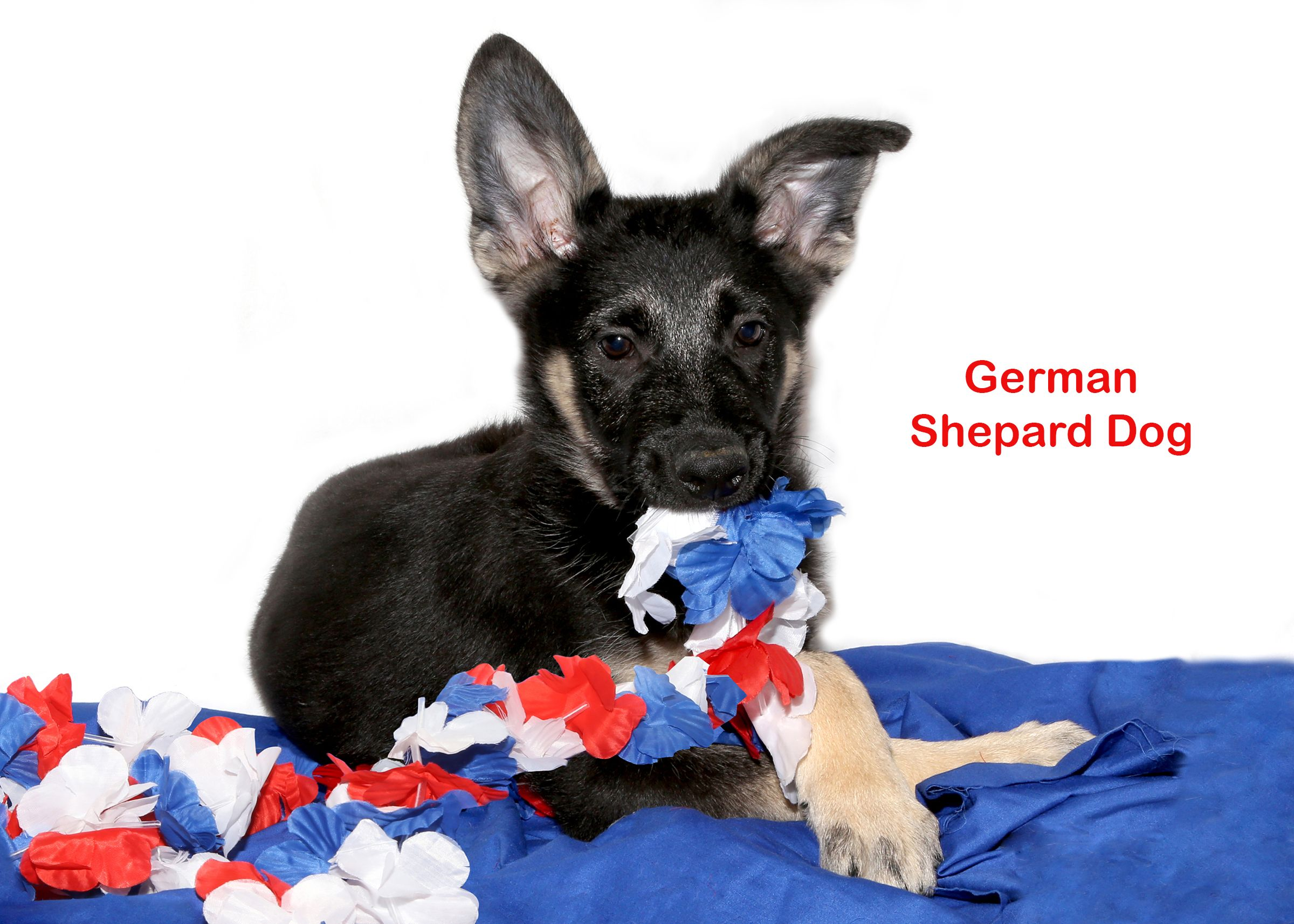 German Shepard Dog For Sale On Long Island At Puppy Love In