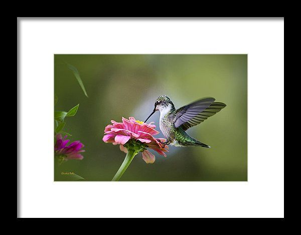 Hummingbird Framed Print featuring the photograph Tranquil Joy by Christina Rollo