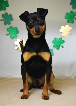 Meet Dooley A Petfinder Adoptable Miniature Pinscher Dog Dublin