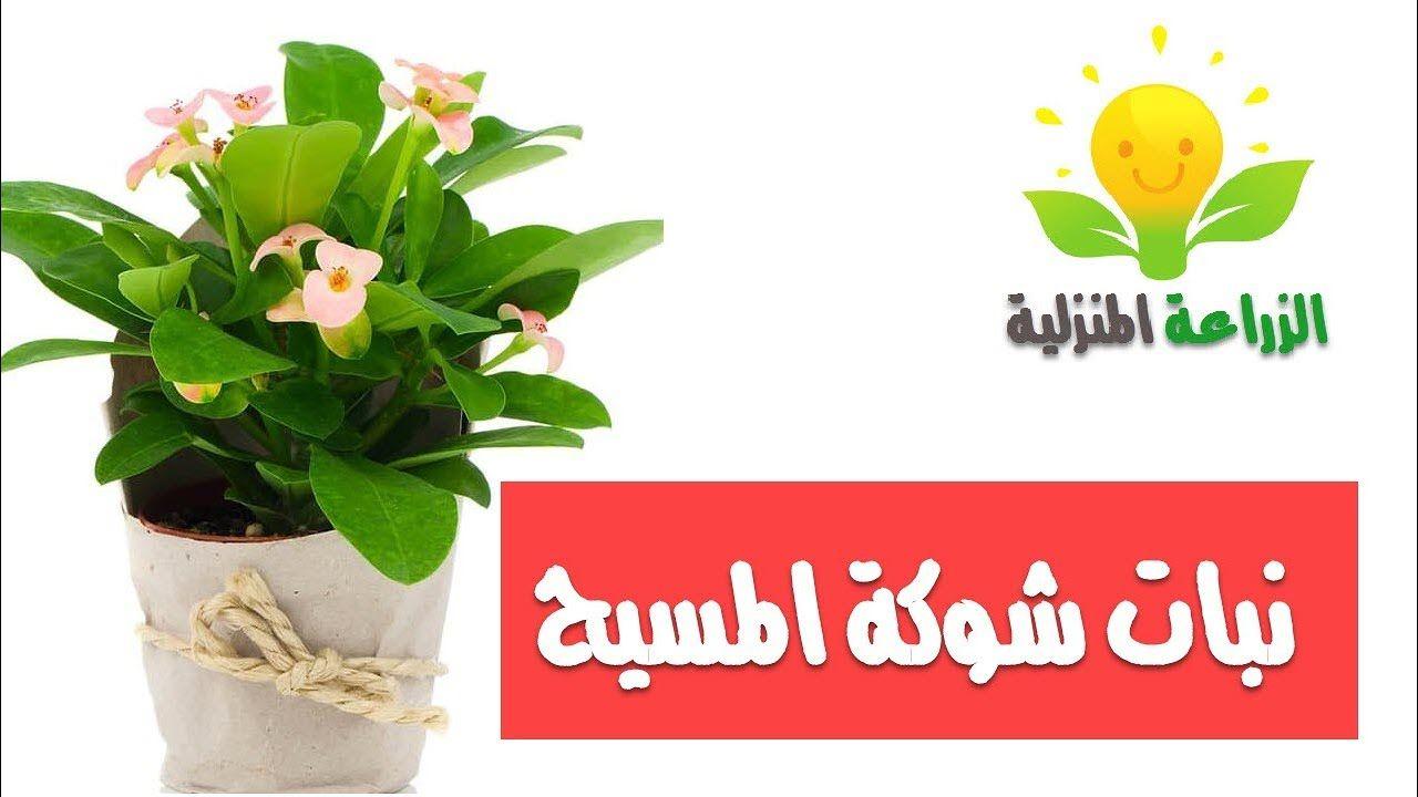 نبات شوكة المسيح Herbs