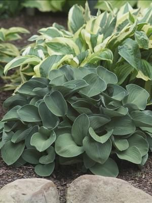 Hosta 'Blue Mouse Ears'- I have a couple of this little guy, and love it