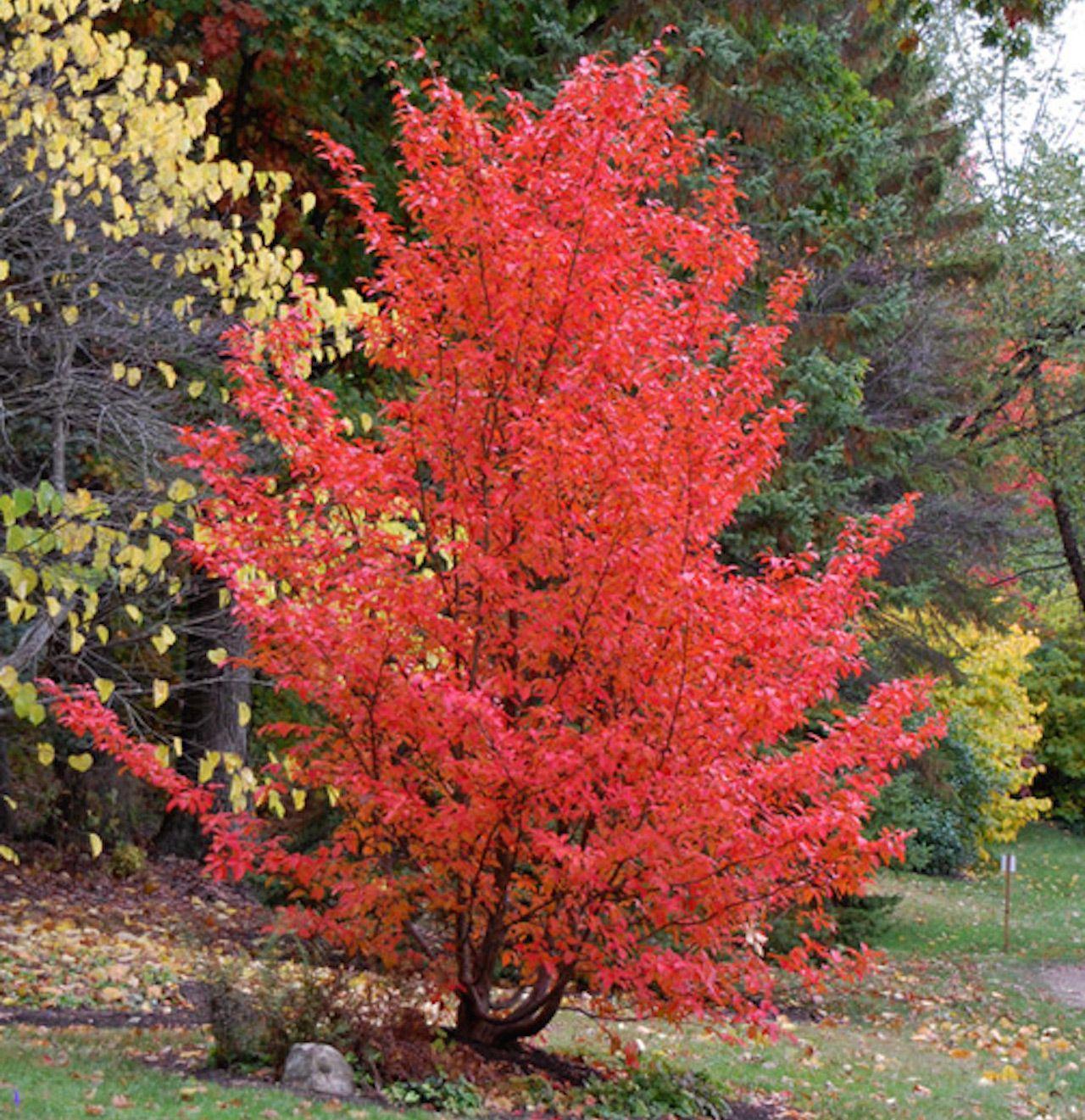 Pseudocamellia stewartiastewartia japonesa treekeepers plantas jardin japones - Plantas jardin japones ...