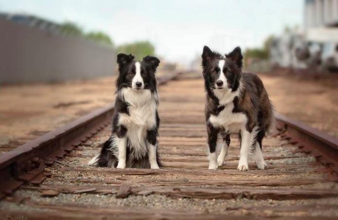 Good Breeder Balmoral Border Collies Border Collie Border Collie Puppies Collie Puppies