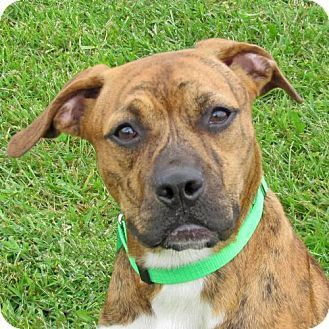 Madison, IN Boxer Mix. Meet Brentley PUPPY, a dog for