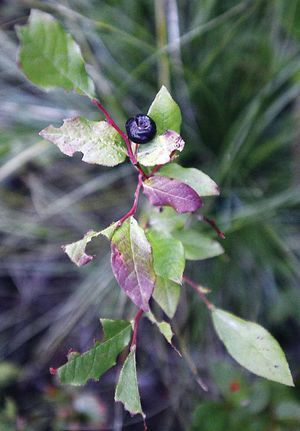 BERRIES & BEARS Drought, heat put stress on huckleberry plants, grizzlies — and human pickers